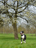 Young Great Dane or German Mastiff Royalty Free Stock Images