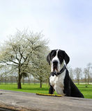 Young Great Dane or German Mastiff Stock Photo