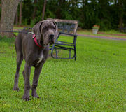 Young Great Dane Stock Photos