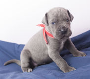 Young Great Dane puppy Stock Photos