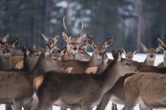 Young Great Deer Cervus Elaphus, Dedicated Depth Of Focus, Surrounded By Herd. A Herd Of Deer, Standing In Belorussian Forest. P Stock Photo