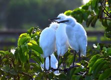 Young Great Egrets (Ardea alba) in Nest. Royalty Free Stock Images