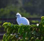 Young Great Egrets (Ardea alba) in Nest. Royalty Free Stock Image