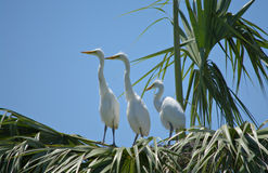 3 Young Great Egrets Royalty Free Stock Images