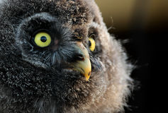 Young Great Grey Owl. A young great grey owl or great gray owl (Strix nebulosa stock photo