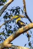Young Great hornbill (Buceros bicornis) Stock Photos