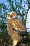 Young Great Horned Owl Stock Photo