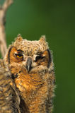 Young Great Horned Owl Stock Images