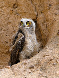 Young Great Horned Owl Stock Image