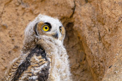 Young Great Horned Owl Royalty Free Stock Photos