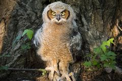 Young Great Horned Owl Against Poison Ivy and Cottonwood Tree royalty free stock photos