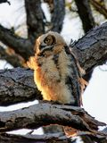The Young Great Horned Owl of Honeymoon Island Royalty Free Stock Images