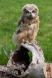 Young Great Horned Owl Stock Photos