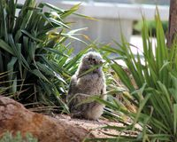 Bush Baby Owlet. Young Great Horned Owl sheltering in bushes on ground until it is ready for flight Royalty Free Stock Image