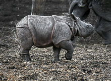 Young great indian rhinoceros 1 Stock Photos