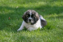 Young Great Pyrenees / Newfoundland puppy enjoying a spring day royalty free stock images