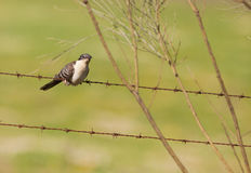 Young Great Spotted Cuckoo on a fence Royalty Free Stock Image