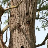 Young Great Spotted Woodpecker (Dendrocopos major). This image shows the head of a nestling Great Spotted Woodpecker looking out of a nest hole in a tree. This Stock Photos