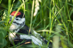 Young Great Spotted Woodpecker on the ground Stock Photo