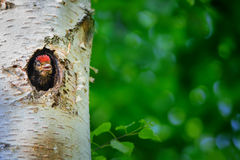 Young great spotted woodpecker looking out from hole Royalty Free Stock Photo
