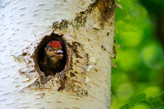 Young great spotted woodpecker looking out from hole Stock Image