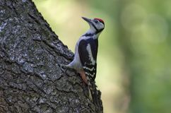 Young Great spotted woodpecker sits on a big tree trunk stock images