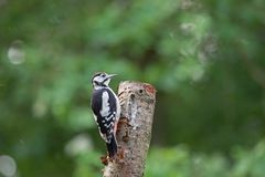 Young Great Spotted Woodpecker sitting on a birch tree Stock Photography