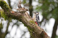 Young Great Spotted Woodpecker sitting on a birch tree Royalty Free Stock Image