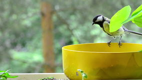 Young great tit begging on my balcony stock video footage