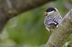 Young great tit on branch Royalty Free Stock Image