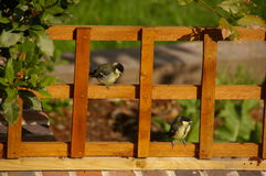 Young great tit on garden trellis Stock Image