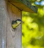 Young Great Tit just befor Flying Out Royalty Free Stock Photos