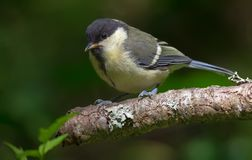 Young Great tit sits on a small stick in contrast environment. Young Great tit perched on a small lichen branch stock photo