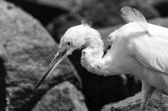 Great egret on rocks in black and white Stock Photo