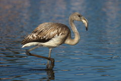 Young greater flamingo, phoenicopterus roseus, Royalty Free Stock Photos