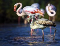 Young greater flamingo, phoenicopterus roseus Stock Photos