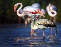 Young greater flamingo, phoenicopterus roseus Stock Photos