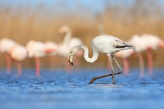 Young Greater Flamingo, Phoenicopterus ruber, nice pink big bird in the blue water, Camargue, France. Wildlife scene from summer n Royalty Free Stock Photos