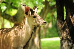 Young Greater Kudu antelope Stock Photo