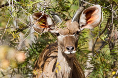 Young Greater Kudu Royalty Free Stock Photography