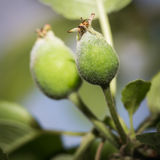 Young green apple fruits on a branch Stock Photo