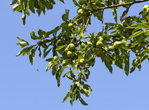 Young green apples on a branch Stock Photography