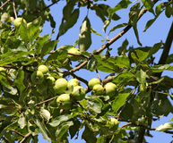 Young green apples on a tree Royalty Free Stock Photo