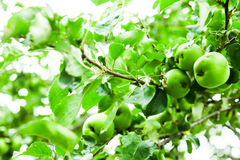 Young Green Apples in a tree Stock Image