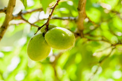 Young Green Apricot Royalty Free Stock Photography