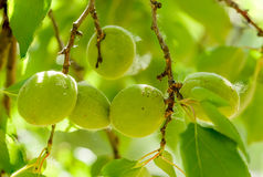 Young Green Apricot Royalty Free Stock Image