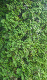 Young green arborvitae branch. Close-up of young green arborvitae branch Royalty Free Stock Photo