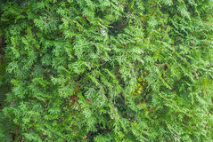 Young green arborvitae branch. Close-up of young green arborvitae branch Royalty Free Stock Images