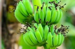 Young green banana Stock Photos