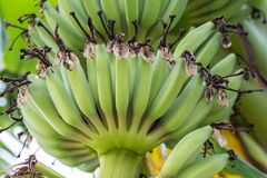 Young green banana fruits on tree. In the farm Stock Image